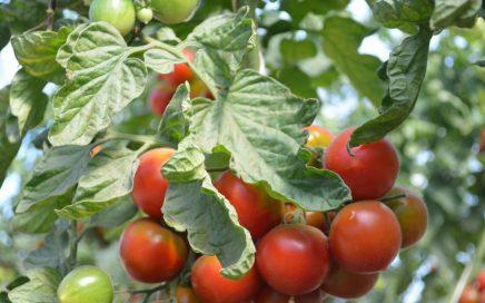 Tomates encore