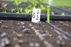 Les semis de choux rouges