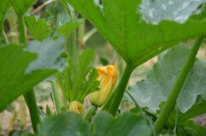 Les fleurs de courgettes, en beignet, c'est super